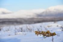 Juniperis communis, Dovre, Norway
