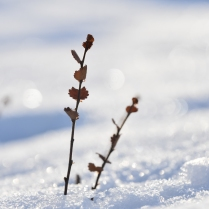 Betula nana, Dovre, Norway