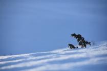 Juniperis communis in winter, Dovre, Norway